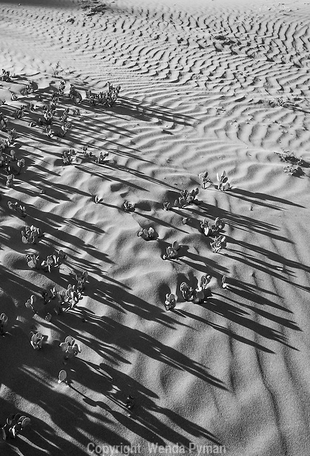 Early morning sun plays among the iceplants and dunes.