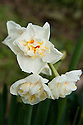 Daffodil (Narcissus 'Abba'), an orange and white Division 4 Double variety, mid February.