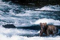 609682168 a wild adult brown bear ursus arctos stands in the river just below the falls during a salmon run near brooks lodge in katmai national park alaska