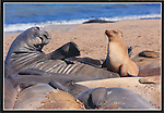 FB-S154, 4x6 postcard, California sea lion on elephant seal