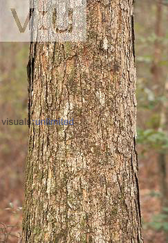 Swamp Chestnut Oak bark ,Quercus michauxii,