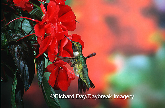 01162-05614 Ruby-Throated Hummingbird (Archilochus colubris) male on Impatiens (New Guinea Hybrid) Shelby Co. IL