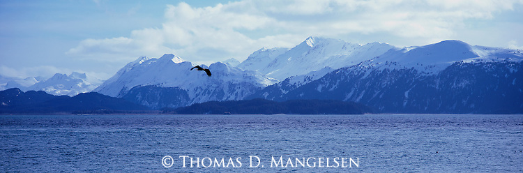 Bald eagle flies over Kachemak Bay in Southcentral Alaska.