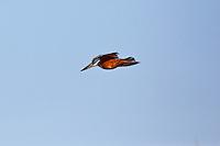 Ringed Kingfisher, Lago Petexbatun, Guatemala
