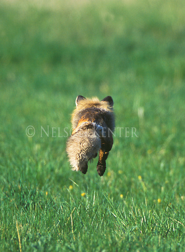 A pouncing fox in a Montana meadow