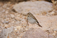 Hermit Thrush (Catharus guttatus), adult, Chisos Mountains, Big Bend National Park, Chihuahuan Desert, West Texas, USA