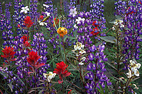Alpine Meadow - Arctic Lupines (Lupinus arcticus) mixed with Indian Paintbrush (Castilleja miniata), Tiger Lily aka Columbia Lily (Lilium columbianum) and other Alpine Wildflowers, BC, British Columbia, Canada