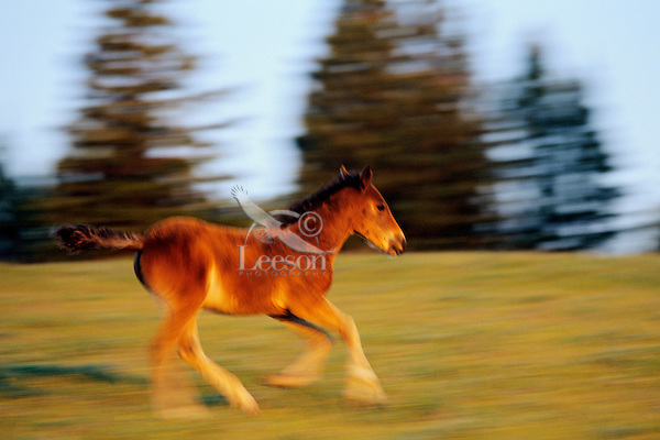 Wild Horse colt or foal running in alpine meadow.  Pryor Mountain Wild Horse Refuge, MT. (Equus caballus)