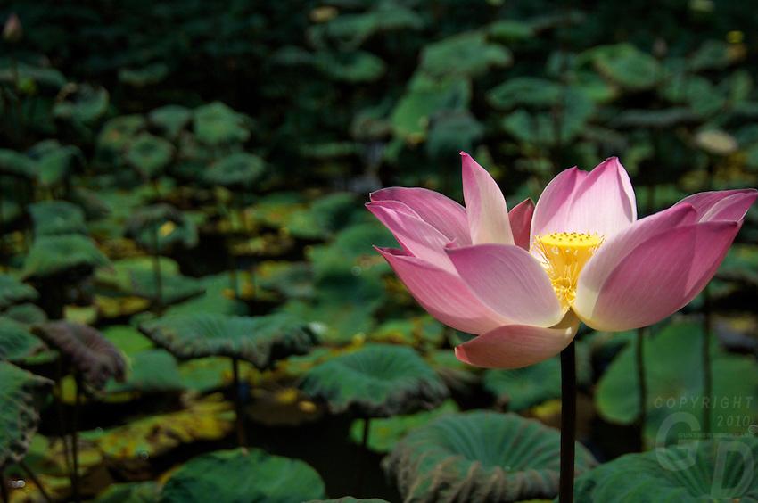 Lotus Garden, Ubud
