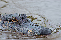 One of the many aligators we capture in the Honey island swamp.  I think he was trying to get his good side I am pretty sure he was looking to get his best side for this photo..