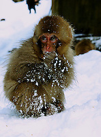 A baby Japanese macaque, Snow Monkey, is covered in a thick coat of winter fur, in Jigokudani (Hell Valley) in Nagano Prefecture, Japan, 18 Jan 2011.  Japanese snow monkeys live in extreme conditions where winter temperatures can drop to -20 c, and they are unique in taking hot bath, known as an Onsen...Photo by Richard Jones/ Sinopix