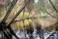 Atlantic White Cedars;Chamaecyparis thyoides; NJ, Pine Barrens, Cedar Creek