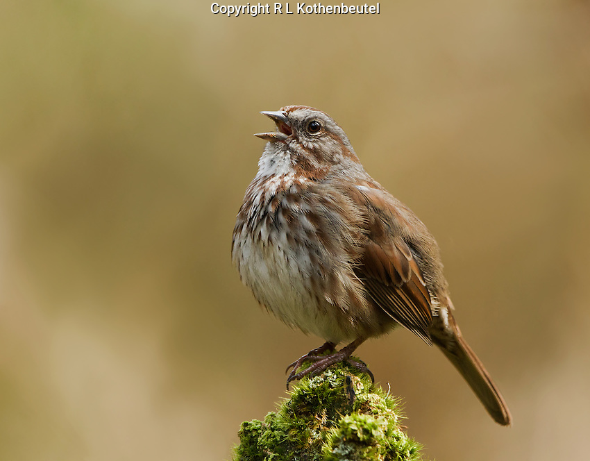 Male song sparrow (dark Pacific Northwest race)singing from a mossy stump as he proclaims his breeding territory<br /> Woodinville, Washington<br /> 3/26/2013