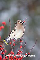 01415-024.13 Cedar Waxwing (Bombycilla cedrorum) eating Common Winterberry (Ilex verticillata)  Marion Co. IL