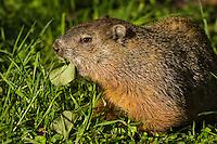 "Woodchuck (Marmota monax). Point Pelee National Park, Ontario, Canada. Lake Erie. Spring. aka "" Groundhog""."