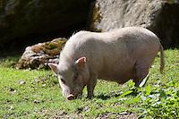 Hängebauchschwein, Vietnamesisches Hängebauchschwein, Hängebauch-Schwein, Hausschwein, Haus-Schwein, Schwein, Schweine, Hausschweinrasse, Schweinerasse, Sus scrofa f. domestica, hog, pig, pigs, swine, pot-bellied pig, domesticated pig