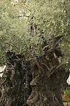 Israel, Jerusalem, Olive tree in the Garden of Gethsemane