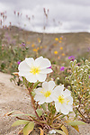 Anza-Borrego Desert State Park, Borrego Springs, California; three white and yellow Dune Evening Primrose flowers on the desert floor with yellow and purple wildflower in the background