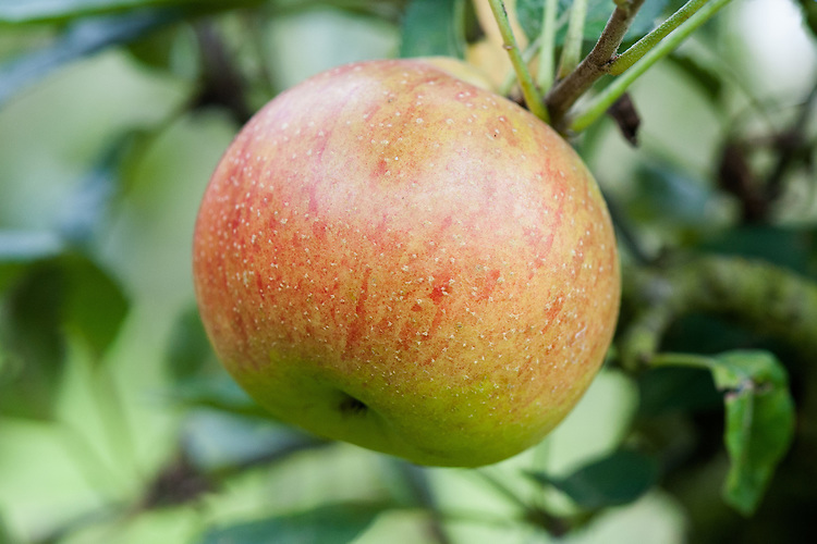 Apple 'Fearn's Pippin', mid September. An English dessert apple originating from a garden in Fulham, London sometime before 1780. One of the most popular of Victorian eating apples.