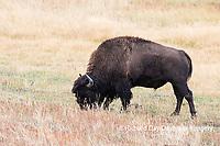 01985-02704 Bison (Bison bison) near Midway Geyser Basin Yellowstone National Park, WY