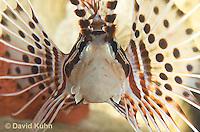 0130-1013  Antennata Lionfish (Broad-Banded Firefish, Spotfin Lionfish), Pterois antennata  © David Kuhn/Dwight Kuhn Photography