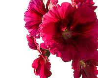 A cluster of hollyhock blossoms as a cut-out, the background removed.