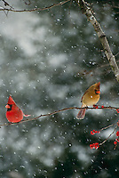 Male and female cardinal sharing branch of holly berries but diconnected and turned away,