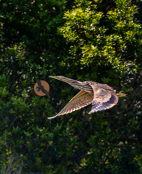 American Bittern in flight with wings in downstroke against tree background