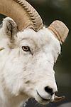 Bighorn Sheep ram at the Alaska Zoo in Anchorage, Alaska..#D0505103