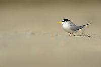 Least Tern (Sterna antillarum), adult, South Padre Island, Texas, USA