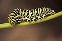 Swallowtail butterfly caterpillar {Papilo machaon}. Tirol, Austrian Alps.