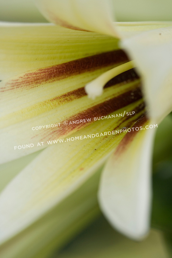 A close up detail of a single flower of the dramatic species lily, Cardiocrinum giganteum, (kar-dee-oh-CRY-num) which can reach heights of 5-10' on its flower stalk, with trumpet-shaped flowers that are highly fragrant.  When finished blooming, the plant sets its seeds where the blooms once were, and a dramatic stalk with seed pods the size of large gnocchis remains throughout the winter.