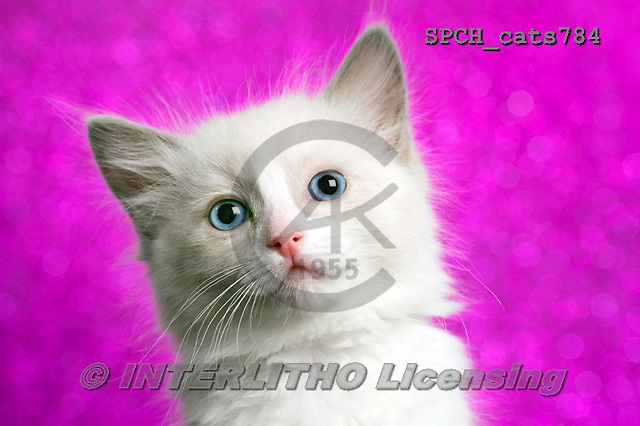 Xavier, ANIMALS, REALISTISCHE TIERE, ANIMALES REALISTICOS, cats, photos+++++,SPCHCATS784,#a#