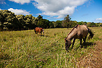 horses grazing in a field in Hana, Maui, Hawaii