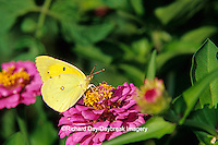03074-00218  Orange Sulphur butterfly (Colias eurytheme) on Zinnia sp., Marion Co.,  IL
