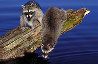 Raccoon young playing on a log at the edge of a lake..Summer. North America..(Procyon lotor).