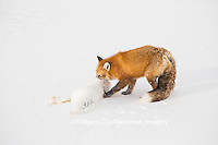 01871-02901 Red Fox (Vulpes vulpes) eating Arctic Fox (Alopex lagopus) at Cape Churchill, Wapusk National Park, Churchill, MB