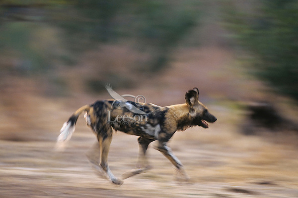 African wild dog (Lycaon pictus) running.  Manna Pools National Park, Zimbabwe.
