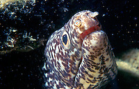 MORAY EEL<br /> Moray eels are usually shy, hiding in crevices when approached, and have very poor eyesight. Juveniles are distinguished by their large eyes and multitude of teeth, which are lost as they wear down with age.