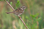 Song sparrow (Melospiza melodia) perched on a branch