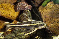 Liniendornwels, Linien-Dornwels, Platydoras costatus, Silurus costatus, Platydoras helicophilus, striped raphael catfish