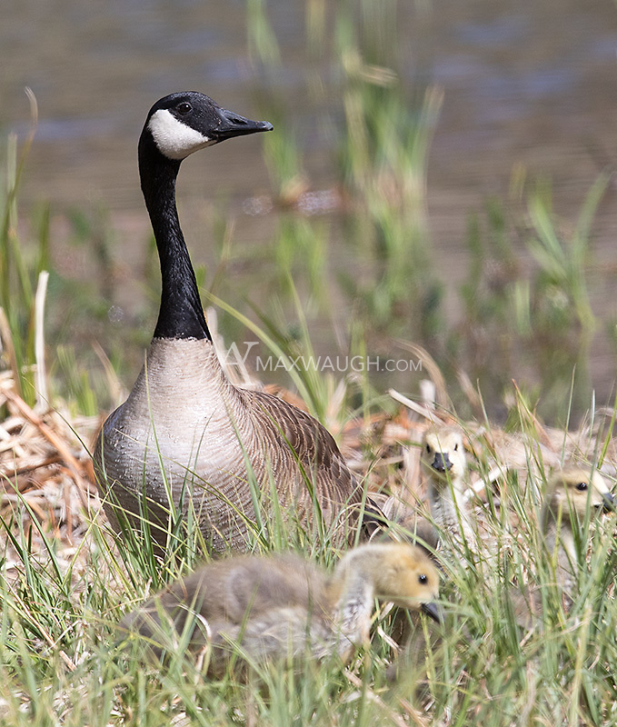 A Canada goose and goslings.