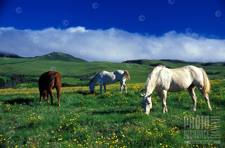 Horses grazing on the hillside in Waimea, North Kohala