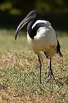 African Sacred Ibis, Threskiornis aethiopicus, captive.Africa....