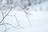 Winter image of Ptarmigan bird sitting on willow branch in snow in the Eureka area of southcentral, Alaska. <br /> <br /> Photo by Jeff Schultz/SchultzPhoto.com  (C) 2018  ALL RIGHTS RESERVED
