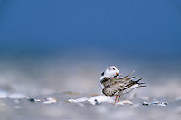 Piping Plover, preening.  Cape May Wildlife Refuge, New Jersey