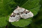 Galium Carpet Moth, Epirrhoe galiata, Bonsai Bank, Denge Woods, Kent UK
