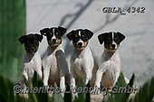 Bob, ANIMALS, REALISTISCHE TIERE, ANIMALES REALISTICOS, dogs, photos+++++,GBLA4342,#a#, EVERYDAY