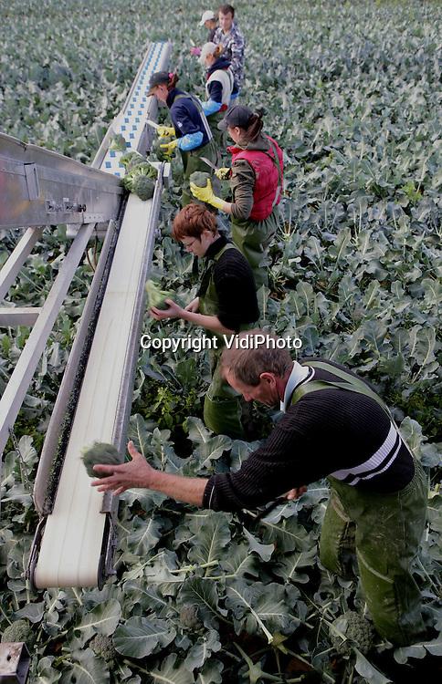 Foto: VidiPhoto..HETEREN - Poolse werknemers van groenteteler Twan Houterman uit Bemmel oogsten op een perceel in Heteren een verse lading broccoli. De groente is op dit moment vrij duur, veroorzaakt door het natte weer van augustus. Daardoor is er veel waterschade ontstaan in de groenteteelt, met hogere prijzen voor consument als gevolg. Houterman heeft 35 hectare broccoli om te oogsten.