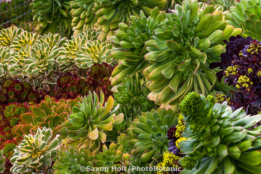 Succulent foliage tapestry of mixed Aeonium cultivars in garden bed at Succulent gardens Nursery